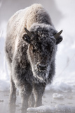 A Frost-Covered American Bison, Bison Bison, Standing in a Steamy Hot Spring Photographic Print by Robbie George