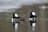 Two Male Hooded Merganser Ducks, Lophodytes Cucullatus, Swimming in Icy Water Photographic Print by Robbie George