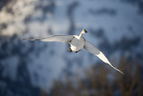A Tundra Swan, Cygnus Columbianus, Catches the Warm Light of a Lowering Sun Photographic Print by Robbie George