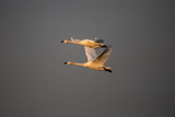 Two Tundra Swans, Cygnus Columbianus, Catch the Warm Light of the Setting Sun Photographic Print by Robbie George