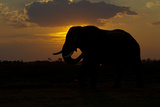 An African Elephant Silhouetted Against Sunset Photographic Print by Beverly Joubert