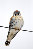 An American Kestrel, Falco Sparverius, Perches on a Wire Photographic Print by Robbie George