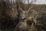 A Camera Trap Catches a Shot of a Bobcat on a Log Photographic Print by Michael Forsberg