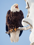A Bald Eagle, Haliaeetus Leucocephalus, Perched on a Snow-Covered Tree Branch Photographic Print by Jak Wonderly