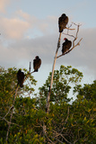 Turkey Vultures Roost Above Mangroves in Everglades National Park Near Whitewater Bay Photographic Print by Carlton Ward