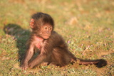 An Infant Gelada Baboon, Theropithecus Gelada, Sits in the Grass Photographic Print by Cagan Sekercioglu