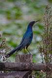 A Boat-Tailed Grackle at the Big Cypress Seminole Indian Reservation Reproduction photographique par Carlton Ward