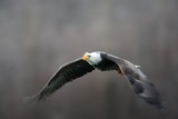Portrait of a Bald Eagle, Haliaeetus Leucocephalus, in Flight, with Something in its Talons Photographic Print by Bob Smith