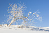 Cottonwood Tree on White Dune in White Sands National Monument Photographic Print by Derek Von Briesen