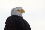 Close Up Portrait of a Bald Eagle, Haliaeetus Leucocephalus Photographic Print by Bob Smith
