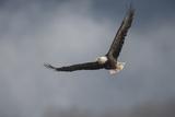 Portrait of a Bald Eagle, Haliaeetus Leucocephalus, in Flight Photographic Print by Bob Smith