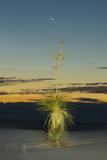 Soapweed Yucca Blooming in White Sands National Monument Photographic Print by Derek Von Briesen