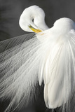 A White Egret Preens its Breeding Plumage, Shark River Slough, Florida Photographic Print by Carlton Ward