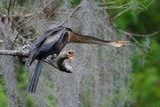 An Anhinga at the Babcock Ranch Preserve, Lee County, Florida Photographic Print by Carlton Ward