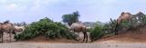 Camels Eating Tamarisk in the Chalbi Desert. the Gabra Live as Camel-Herding Nomads in the Area Fotografisk tryk af Babak Tafreshi