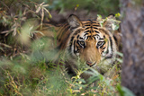A Year-Old Bengal Tiger, Panthera Tigris Tigris, Hiding in the Brush of Bandhavgarh National Park Photographic Print by Jak Wonderly