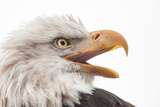 Close Up of Bald Eagle, Haliaeetus Leucocephalus, with its Beak Open Photographic Print by Jak Wonderly