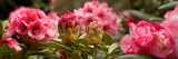 Close-Up of Pink Rhododendron Flowers in Bloom Photographic Print by Panoramic Images