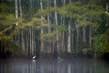 A White Egret in a Pond Lined by Bald Cypress Trees Photographic Print by Carlton Ward