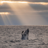 A Humpback Whale, Megaptera Novaeangliae, Breaching under Rays of Sunlight Photographic Print by Jak Wonderly