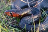 An Eastern Indigo Snake, Drymarchon Corais Couperi Photographic Print by Carlton Ward
