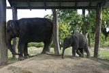 An Elephant Calf with Mother at the Elephant Breeding Center in Chitwan National Park Photographic Print by Jill Schneider