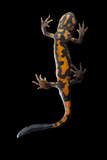 The Underside of a Blue-Tailed Fire-Bellied Newt, Cynops Cyanurus Photographic Print by Joel Sartore