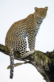 Leopard (Panthera Pardus) Sitting on a Tree, Ndutu, Ngorongoro Conservation Area, Tanzania Fotografisk tryk af Green Light Collection