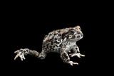 An Endangered Juvenile Yosemite Toad, Anaxyrus Canorus Photographic Print by Joel Sartore