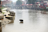 A Cow Stands in the Bagmati River Running Through Kathmandu Photographic Print by Jill Schneider