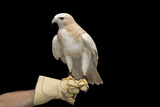 A Partially Albino Red-Tailed Hawk, Buteo Jamaicensis, at the Minnesota Zoo Photographic Print by Joel Sartore