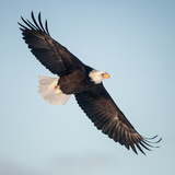 A Bald Eagle, Haliaeetus Leucocephalus, Making a Slow Banking Turn with its Wings Spread Fotodruck von Jak Wonderly