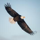 A Bald Eagle, Haliaeetus Leucocephalus, Making a Slow Banking Turn with its Wings Spread Fotoprint av Jak Wonderly