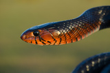 An Eastern Indigo Snake, Drymarchon Corais Couperi Photographic Print by Carlton Ward