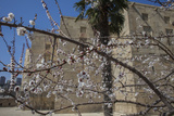 Almond Blossoms Bloom Outside of the Palace of the Shirvanshahs Photographic Print by Will Van Overbeek