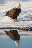 Portrait of a Bald Eagle, Haliaeetus Leucocephalus, and its Reflection in Water Photographic Print by Jak Wonderly