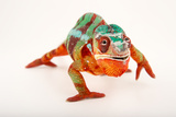 A Male Panther Chameleon, Furcifer Pardalis, at the Dallas World Aquarium Photographic Print by Joel Sartore
