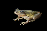 A Red Snouted Treefrog, Scinax Ruber Photographic Print by Joel Sartore