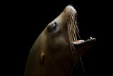 A California Sea Lion, Zalophus Californianus Photographic Print by Joel Sartore