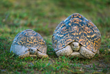 Leopard Tortoise (Stigmochelys Pardalis) with its Young, Tarangire National Park, Tanzania Photographic Print by Green Light Collection