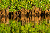 Reflections of Roots and Leaves of Red Mangroves in Avocado Creek, a Tributary of the Shark River Photographic Print by Carlton Ward
