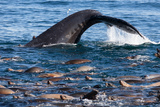 A Humpback Whale Dives for Anchovies Near a Group of California Sea Lions, Zalophus Californianus Photographic Print by Jak Wonderly