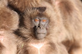 A Young Gelada Baboon, Theropithecus Gelada, Sitting with Another Photographic Print by Cagan Sekercioglu