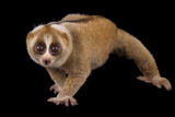 A Greater Slow Loris, Nycticebus Coucang, at the Minnesota Zoo Photographic Print by Joel Sartore