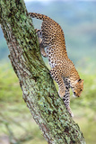 Leopard (Panthera Pardus) Moving Down a Tree, Ndutu, Ngorongoro Conservation Area, Tanzania Photographic Print by Green Light Collection