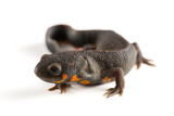 A Blue-Tailed Fire-Bellied Newt, Cynops Cyanurus Photographic Print by Joel Sartore