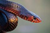 An Eastern Indigo Snake, Drymarchon Corais Couperi Impressão fotográfica por Carlton Ward