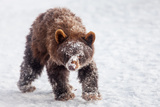 An Alaskan Brown Bear Cub, Ursus Arctos Gyas, Looking for Fish Scraps under Heavy Snow Photographic Print by Jak Wonderly