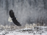 Portrait of a Bald Eagle, Haliaeetus Leucocephalus, in Flight During a Snow Shower Photographic Print by Bob Smith
