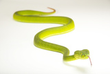 A Gumprecht's Pit Viper, Trimeresurus Gumprechti, at the Oklahoma City Zoo Photographic Print by Joel Sartore